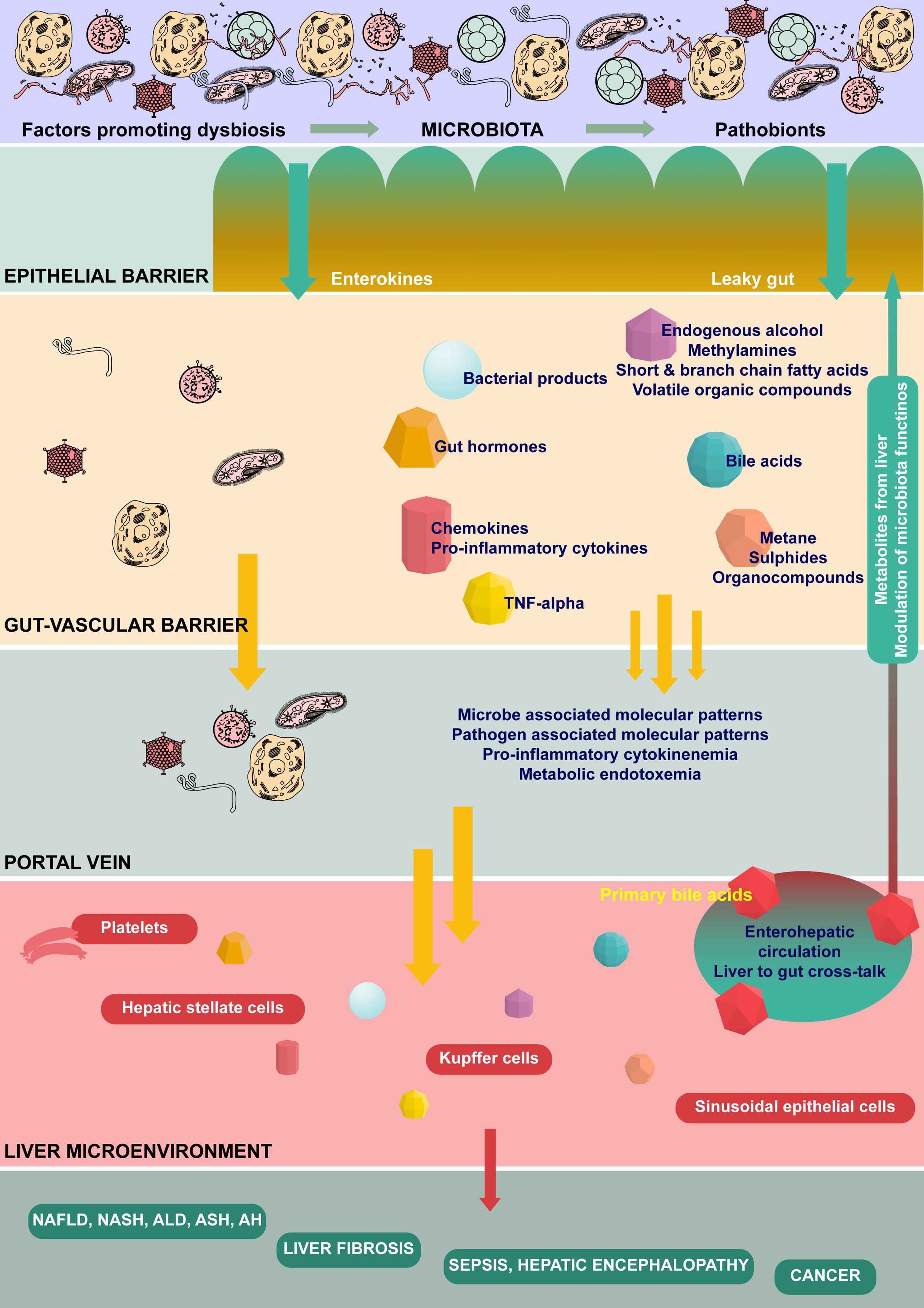 The gut-liver axis and microbiota related cross-talk.