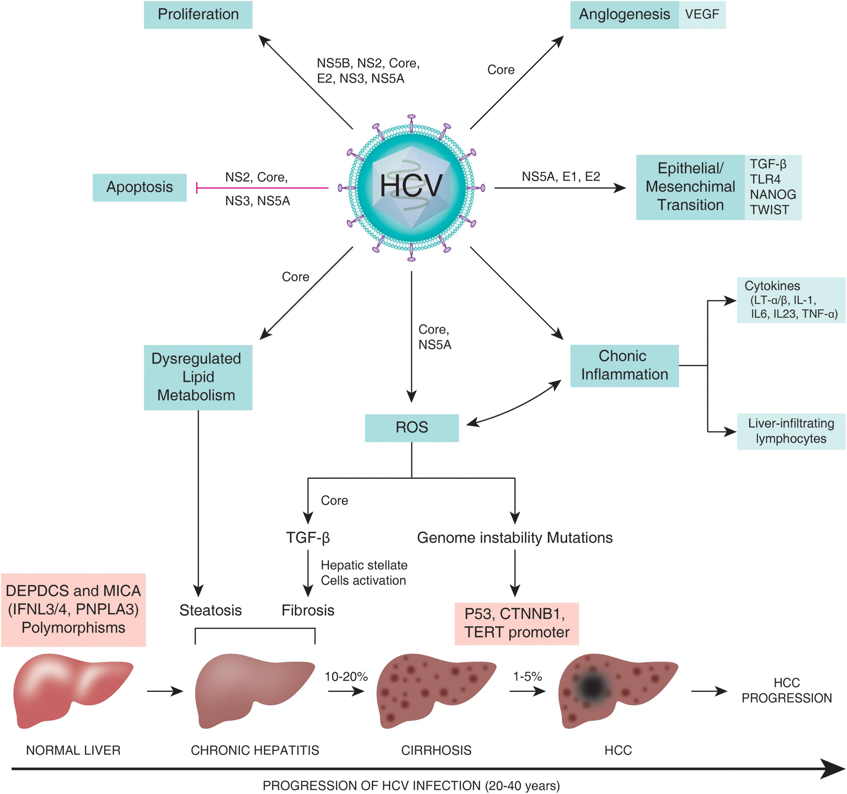 HCV mechanisms for carcinogensis.