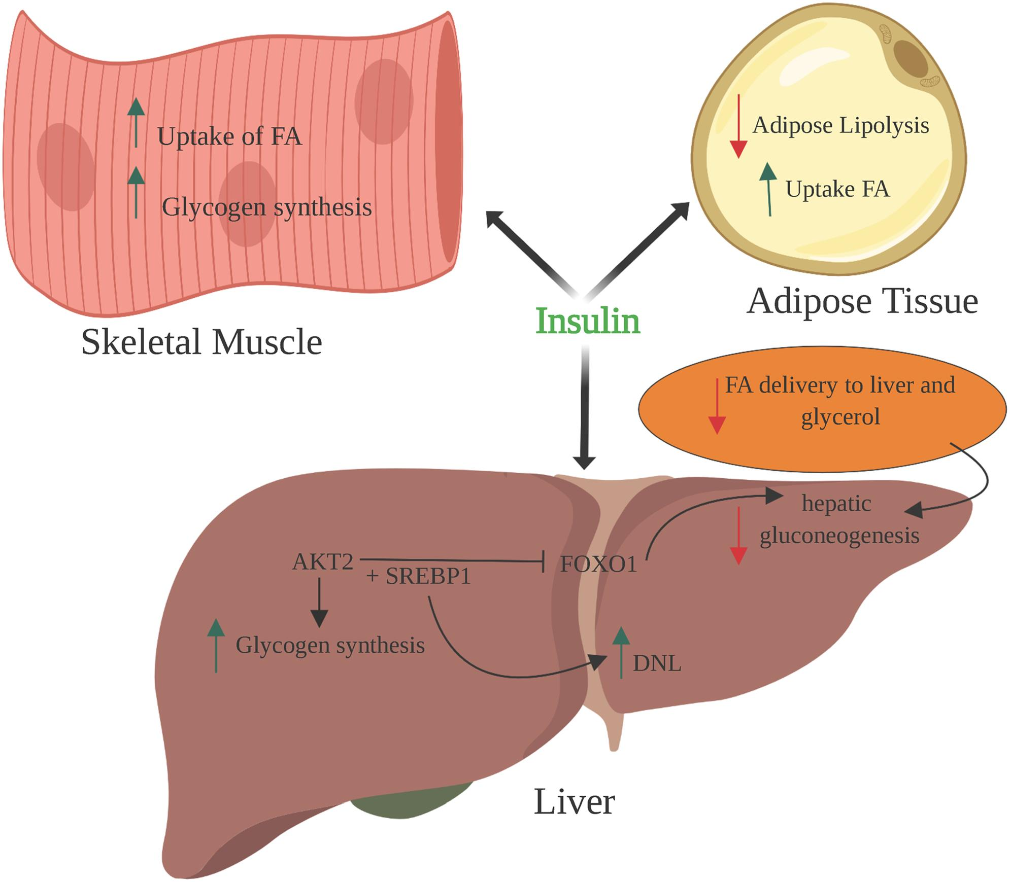 Effects of Insulin on Glucose and Lipid metabolism.