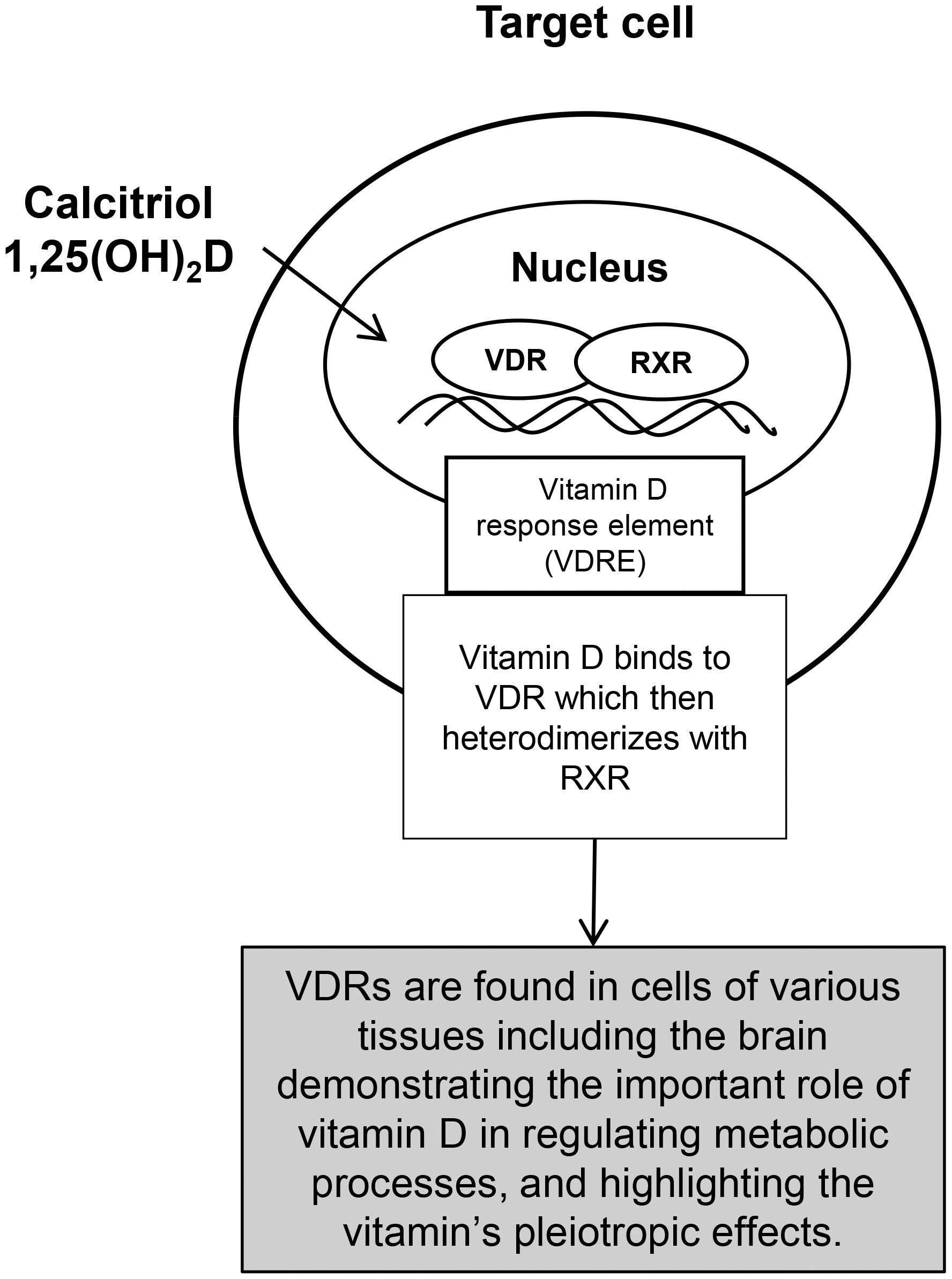 Interaction of calcitriol in the target cell in regulating metabolic processes such as brain health.