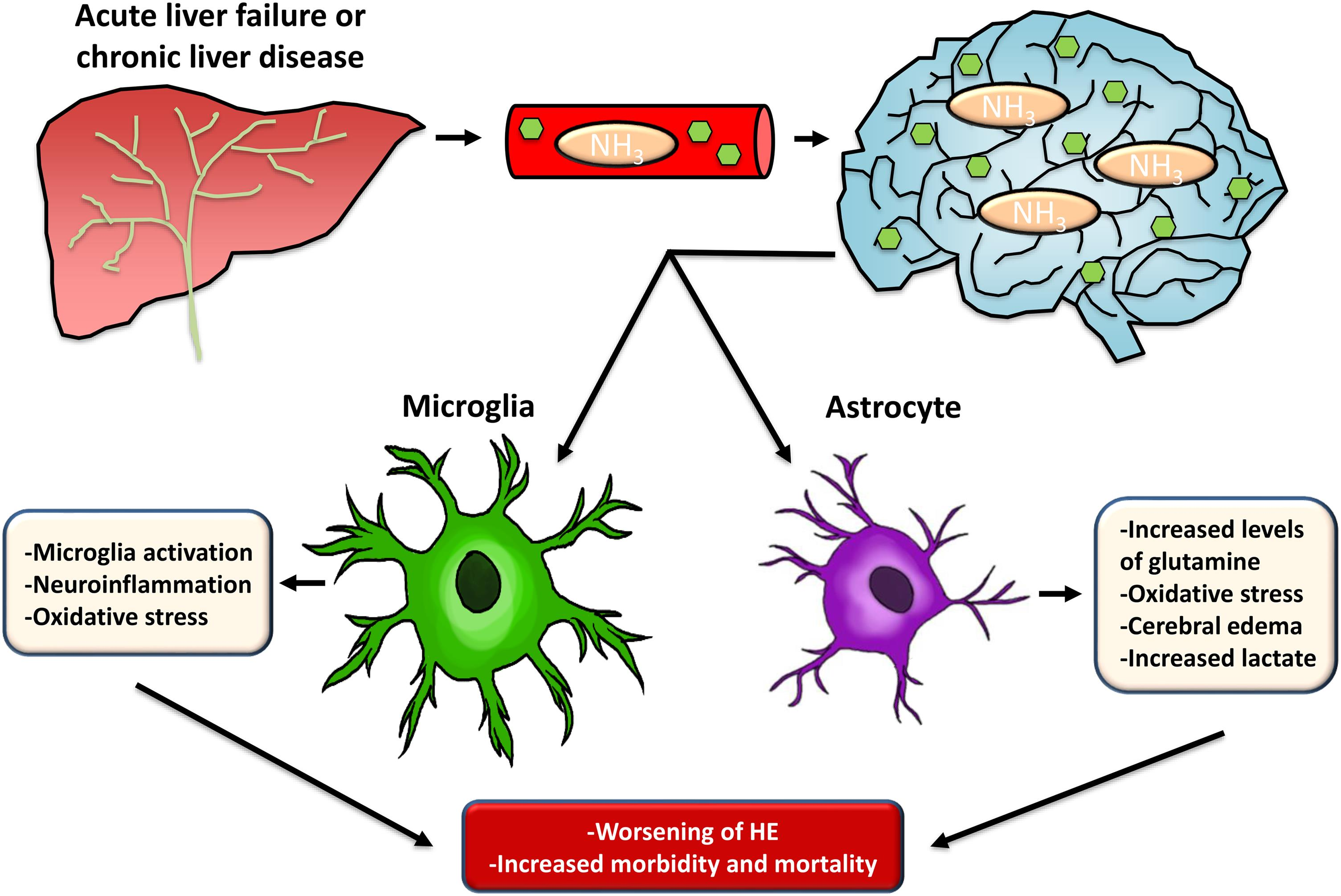 Summary of the involvement of microglia and astrocytes in HE pathology.