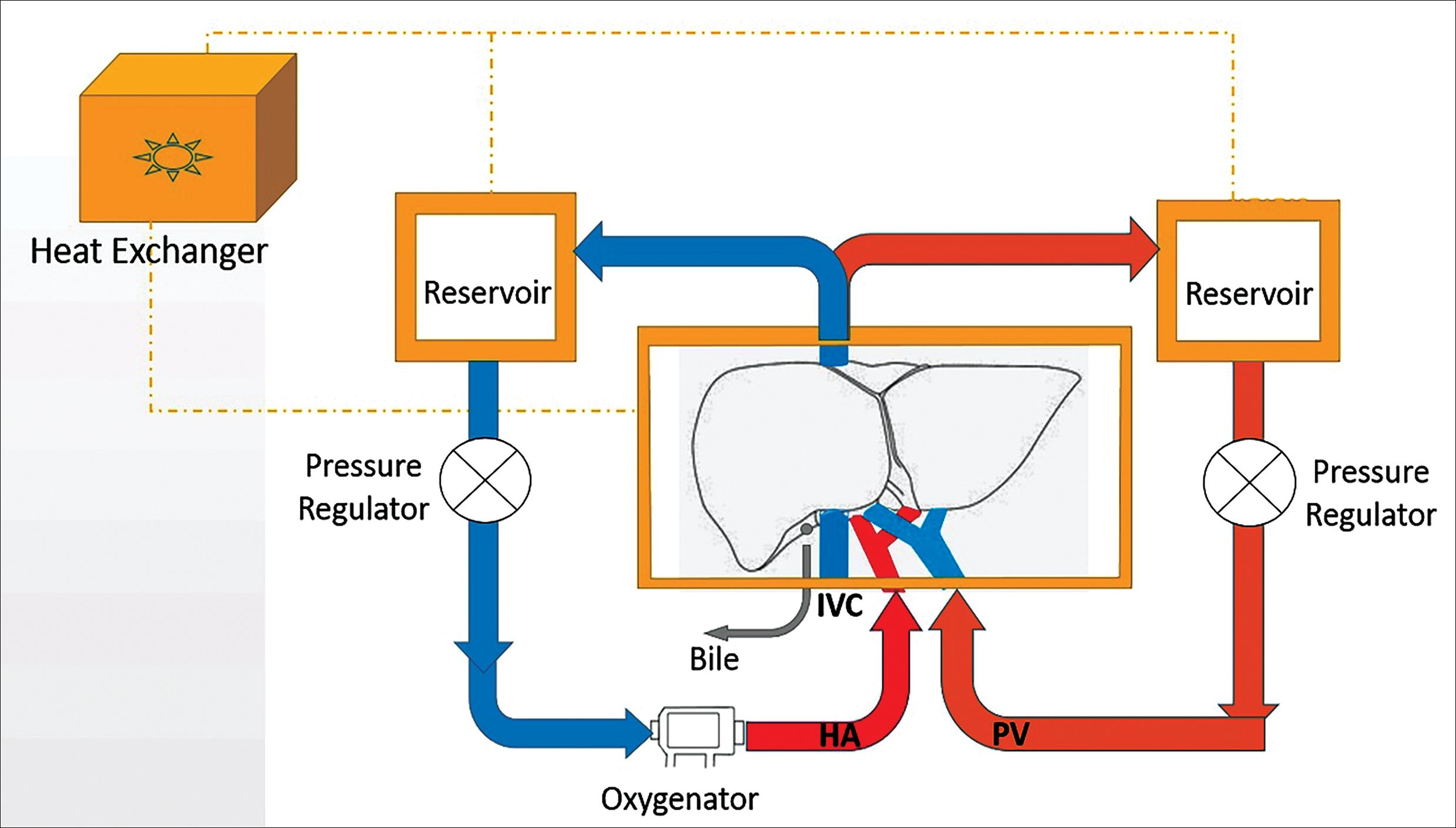 Schematic of a normothermic <italic>ex-vivo</italic> liver perfusion circuit.