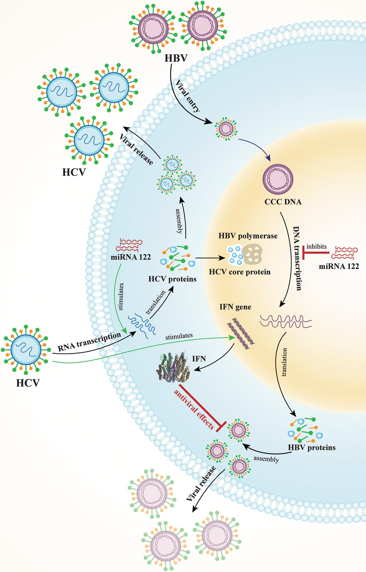 A depiction of three proposed mechanisms of HCV suppression of HBV replication.