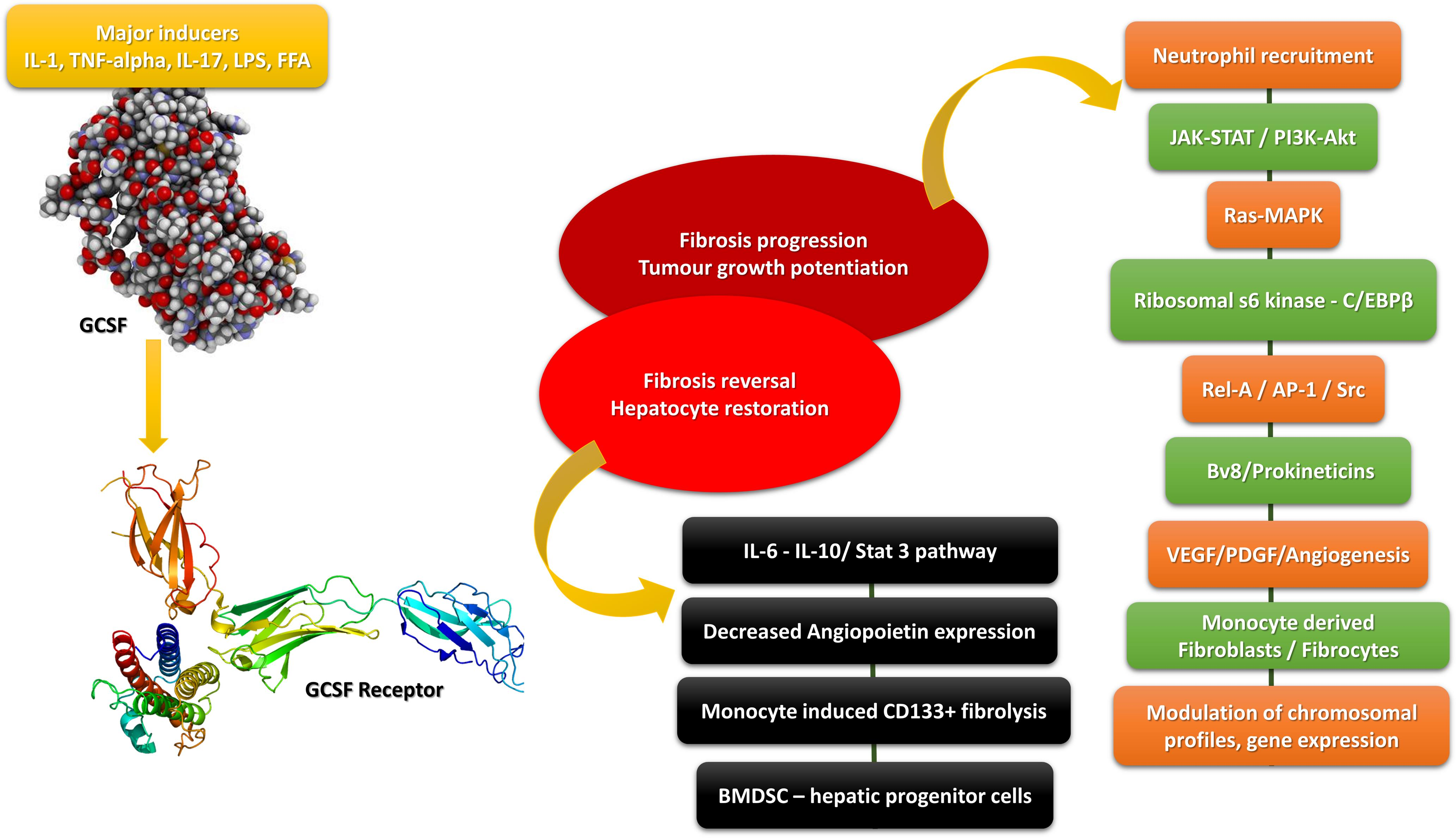 GCSF-activated molecular pathways associated with fibrosis regression and progression.