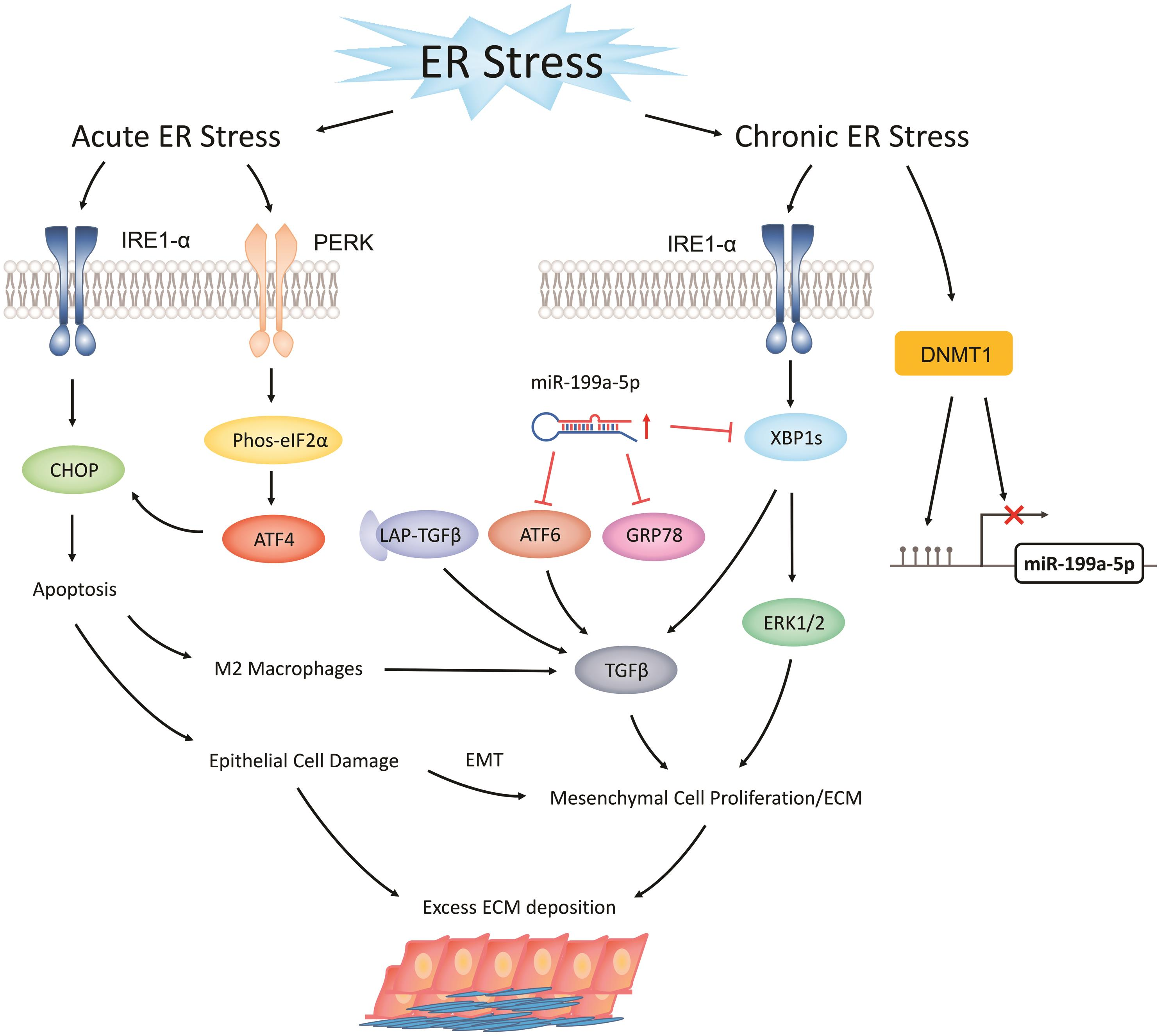 The Role of Endoplasmic Reticulum Stress in the Development