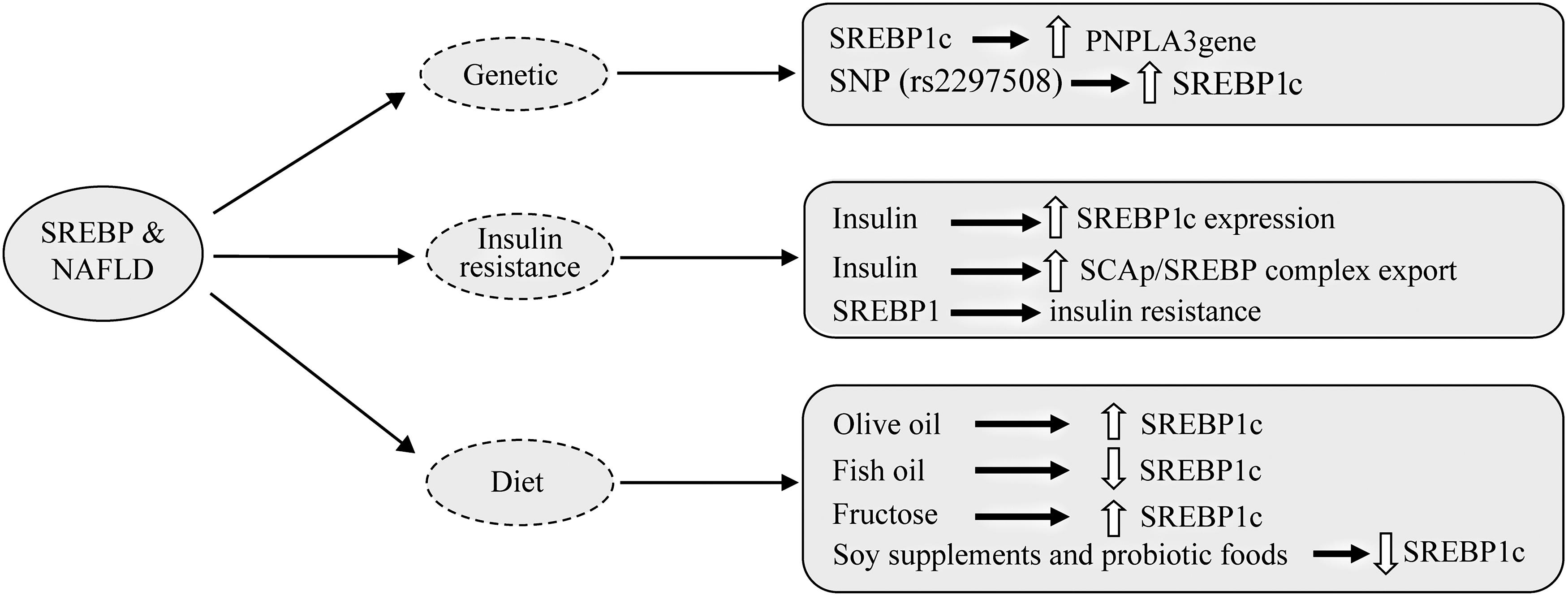 Diagram of the involvement of SREBPs in nonalcoholic fatty liver disease.
