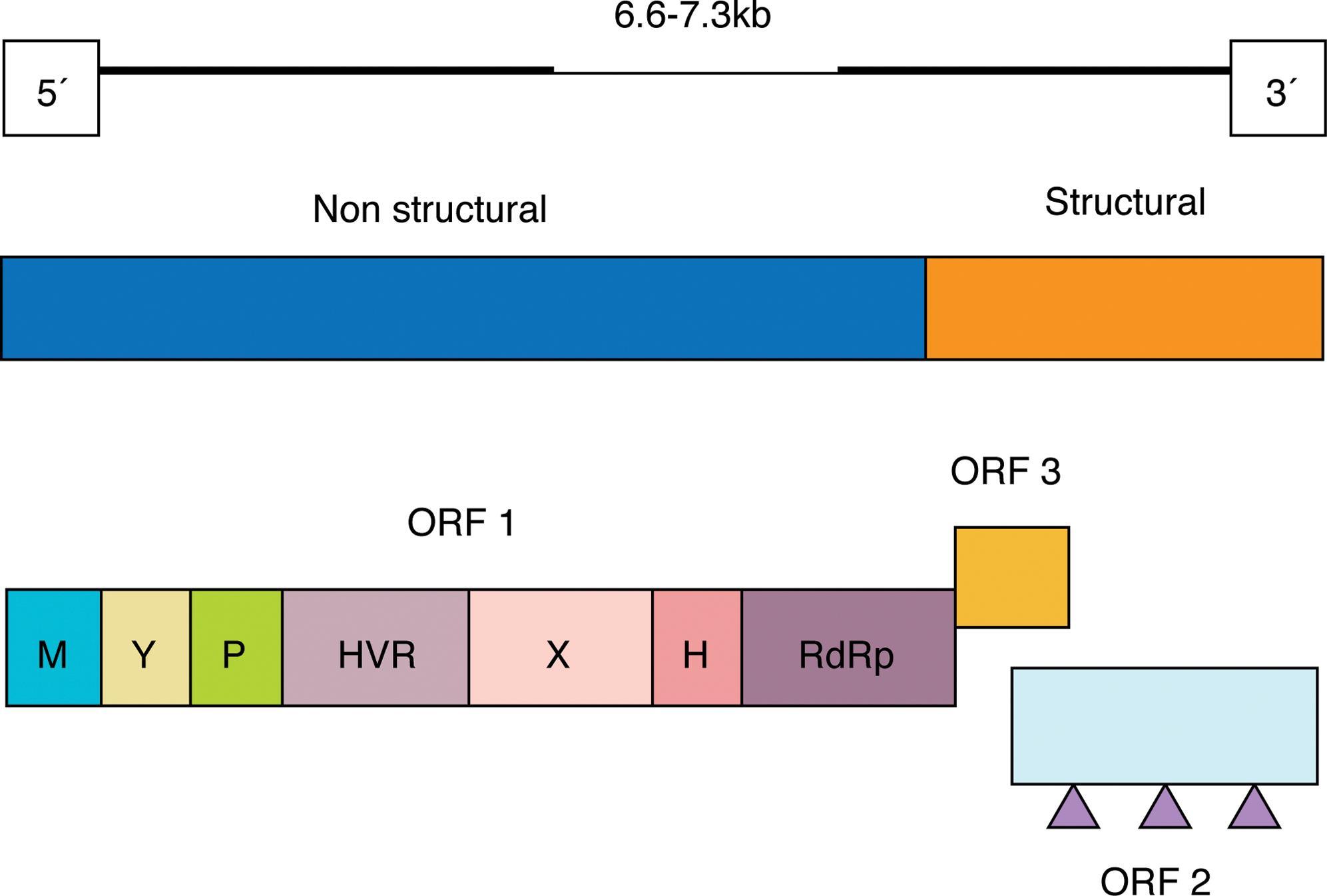 Genomic organization of hepatitis E virus.