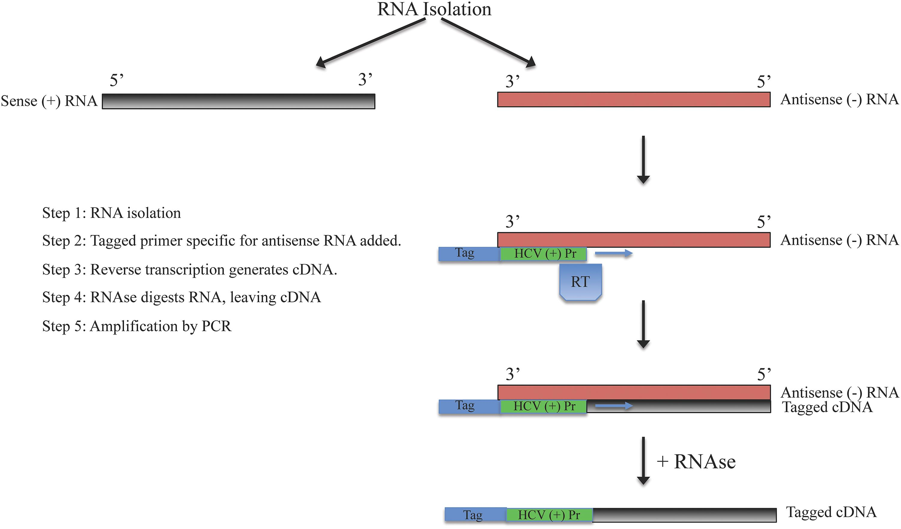 Strand specific RT-PCR for amplification of antisense RNA strand.