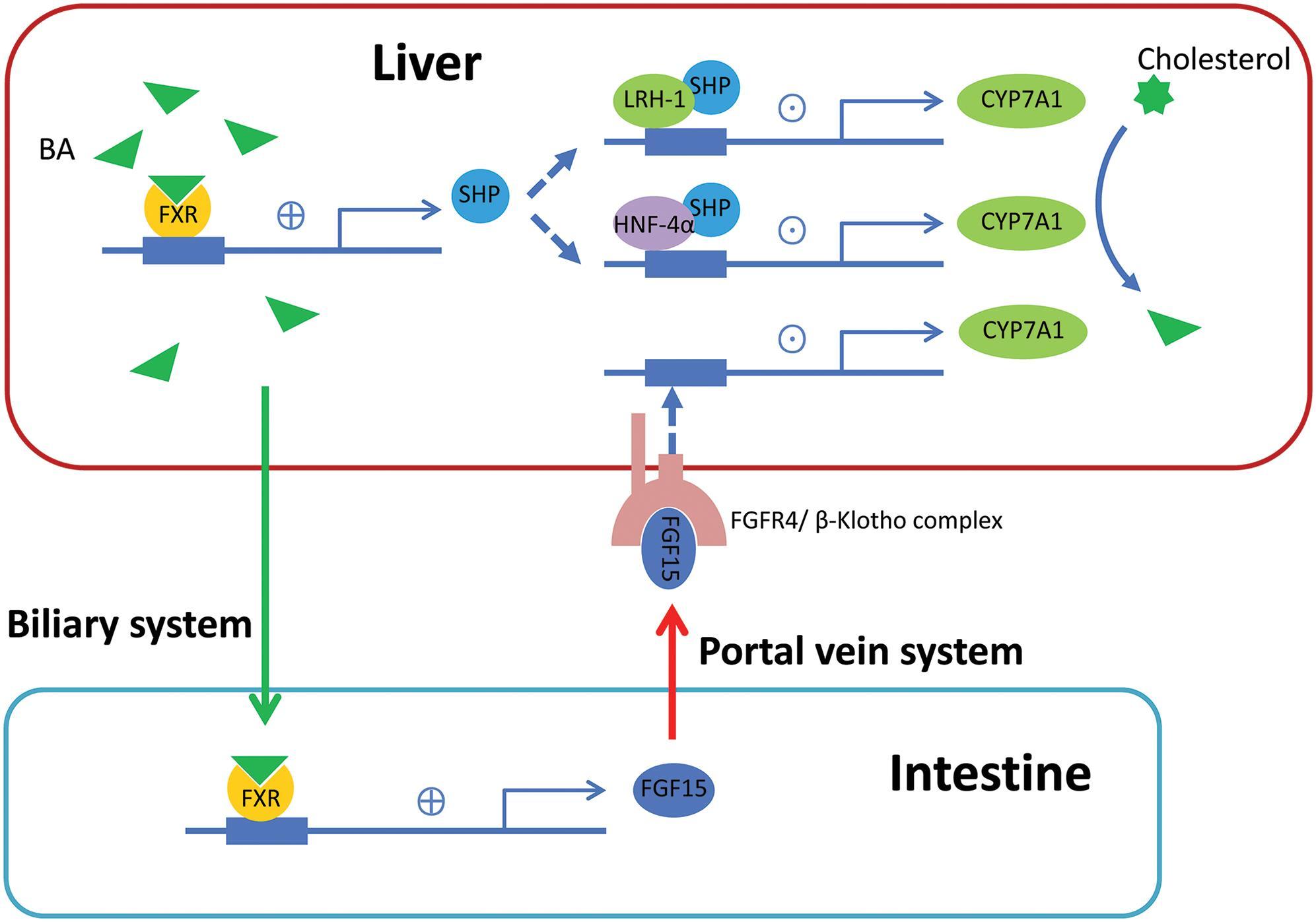 Feedback regulation of bile acid (BA) synthesis through farnesoid X receptor (FXR).