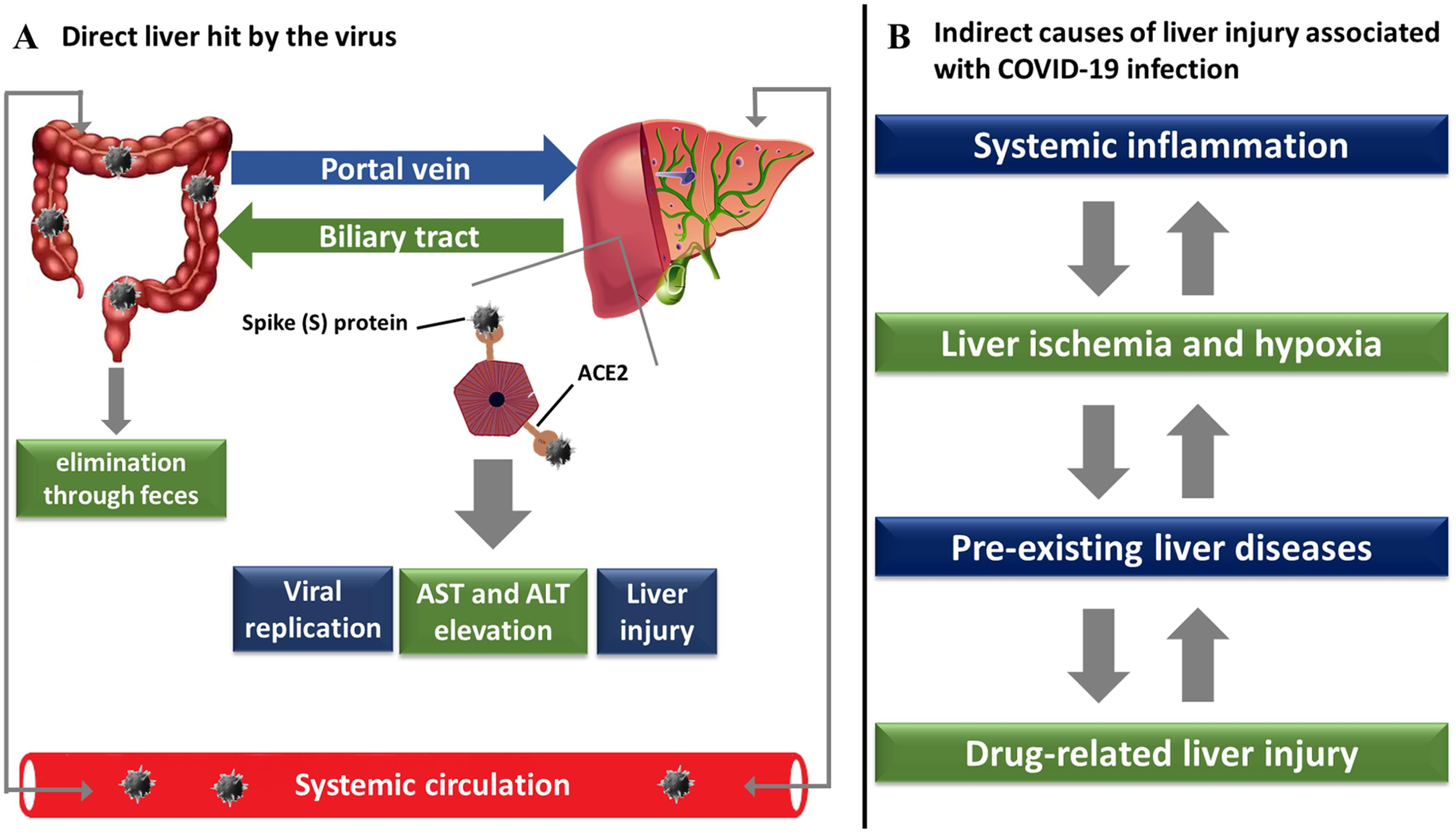 <bold>Mechanisms of liver injury induced by SARS-CoV-2.</bold>
