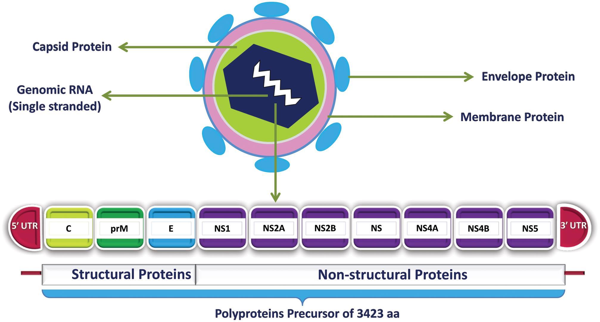 Schematic representation of the ZIKV genome.